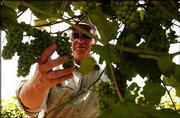 Greg Shipe, owner of Davenport Orchard Vineyard and Winery, looks over some grapes at his business near Eudora. Shipe is part of a group working to control the spraying of herbicides that have damaged sensitive crops such as his grapes.