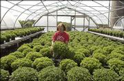 Marcia Henry looks over 15 varieties of chrysanthemums at Henrys' Plant Farm in Lecompton. Chrysanthemums bloom in late summer and fall.
