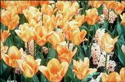 Daffodils and tulips are among spring flowering bulbs that need to be planted in the fall.