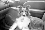 """OK, so where are we going today?"" asks Katie Belle, a 3-year-old sheltie who belongs to Ed and Jean Simpson, of Lawrence. According to her owners, Katie Belle loves to travel, be it around the neighborhood or on a 1,500-mile trip."