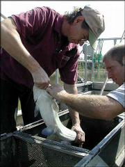 Steve Cringan, left, examines a fish from the Kansas River while Clint Goodrich assists. Both are scientists with the Kansas Department of Health and Environment.