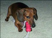 Lilly, a miniature dachshund, enjoys her first birthday present on Aug. 8. She belongs to Chris and Amy Post of Lawrence.