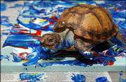 Koopa, a Gulf Coast box turtle, creates a custom-ordered painting for a buyer in Australia at the home of his owner, Kira Varszegi, in Hartford, Conn. Koopa's paintings are selling on eBay for hundreds of dollars, and his pieces hang in 36 of the 50 states.