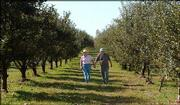 Nancy and Ken Krause walk through their apple orchard. They own Fieldstone Orchard and B & B near Overbrook. The business allows customers to pick their own apples from the trees. The Krauses, pictured Friday, grow more than 50 varieties.