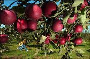 These apples are ripe for picking at Fieldstone Orchard and B & B, near Overbrook. The apple season runs through November.