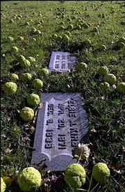 Hedge apples blanket the grounds at the Lawrence Memorial Park Cemetery, 1517 E. 15th St. Family members of the deceased buried at the cemetery have complained that owners are slow to install grave markers and take care of maintenance.