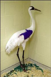 An injured whooping crane stands gets treatment at the College of Veterinary Science at Kansas State University in Manhattan. It and another crane were found shot near the Quivira National Wildlife refugee in Stafford County. The other injured crane has since died.