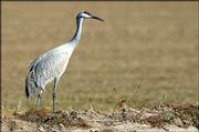 Sandhill crane<br> Name: Grus canadensis<br> Height: 3-5 feet<br> Weight: 6.5-14 pounds<br> Wingspan: 5-6 ft.<br> Population: about 650,000, stable to increasing<br>