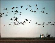 A flock of sandhill cranes flies across one of the many water-controlled levees at Hackberry Flat wetland project southeast of Frederick, Okla., in this Feb. 12, 1999, file photo. State and federal wildlife officials will take public comment on the end to sandhill crane hunting season after endangered whooping cranes were accidentally shot this season.