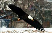 A bald eagle is shown flying near Bowersock Dam above the Kansas River.