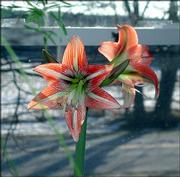 An amaryllis bulb needs to be grown in potting soil. Their roots need plenty of air.
