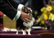 Long Coat Chihuahua I Believe I Can Fly is presented by his handler during competition at the 129th Westminster Kennel Club dog show, Monday in New York.