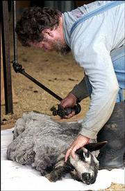 Third-generation sheep shearer Danny Smith of Kingsville, Mo., shears one of the Clarks' sheep.