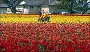Two cyclists bike through one of the free tulip fields during the 2004 Skagit Valley Tulip Festival in Skagit County, Wash. This year's festival is April 1-30.