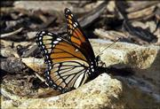 Milkweed is a main food source for caterpillars, but disappearing farmland and the increase of genetically modified crops are affecting the supply.