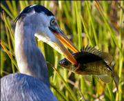 A great blue heron spears its dinner while hunting in Everglades National Park, Fla.