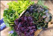 Lettuce and other produce grown from heirloom seeds are popular among home gardeners and organic farmers.