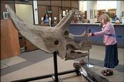 Cleo LeMaster, 8, gets a close-up inspection of a fossilized Triceratops skull on display at the Lawrence Public Library, 707 Vt. The skull was found in Montana and belong to Alan Detrich, a fossil hunter from Great Bend who now lives in Lawrence. The skull and a resin cast of the femur of a Tyrannosaurus will be on display at the library through August.