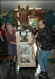 The preserved body of Comanche, the only member of the 7th Cavalry left alive after the Battle of Little Big Horn, is moved Friday to its new exhibit space at the Kansas University Natural History Museum. Foreground from left are Kim Taylor, exhibits assistant, and Bruce Scherting, director of exhibits.