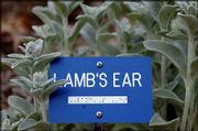 "A plant marker in braille denotes ""Lamb&squot;s Ear"" at the Audio-Reader sensory garden at Kansas University."