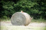 A fox checks out  its surrounding from its perch atop a hay bale. The photo was taken last August southeast of Tonganoxie. Reports of fox sightings have been increasing, although there is no firm evidence that the number of animals in the area is growing.