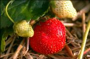 Strawberries ripen on the vine in an area garden. Although some crops took a hit during the late freezes, area growers say there are still plenty of the delicious, red berries to go around.