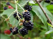 Wild blackberries are a delicious but delicate crop, a favorite food of man and animals. Pick the berries as they ripen on the canes, are soft to the touch and almost ready to fall into your hand. Berries with any red still in them are acidic and will taste tart. Leave them for another day.