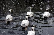 Asia's bird flu, which health experts fear could unleash a deadly flu among people, seems on the verge of spreading to India, Australia, New Zealand and eventually Europe by migrating birds similar to these bar-headed geese, scientists warned Wednesday.