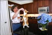 Mary Chatterton gives a treat to her cat Clark Saturday in the kitchen of her house in Ipswich, Mass. Researchers at the Monell Chemical Senses Center in Philadelphia and their collaborators said Sunday they found a dysfunctional feline gene that probably prevents cats from tasting sweets, a sensation nearly every other mammal on the planet experiences to varying degrees. Clark took part in the study.