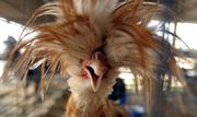 A Polish chicken displays a wild hairdo during the Douglas County Fair Wednesday afternoon. The Polish Chicken appears to wear a hat of feathers. This look is due to an opening toward the front of the skull that develops a large lump.