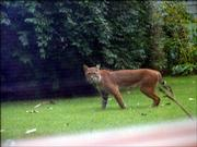 A mother bobcat, pictured, along with four babies were spotten in Sharon Patton's backyard Saturday afternoon.