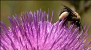 A bumblebee navigates the flower of a tall thistle, which is one of 80 species that were planted in the restored wetlands, although only about half of them exist now.