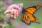 A Monarch butterfly comes to a resting point on a buddleia plant Thursday afternoon at Monarch Watch's Way Station No. 1.