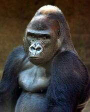 A Western Lowland Gorilla sits in the shade at the Topeka Zoological Park Tuesday afternoon.
