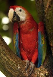 A macaw perches itself within a tree at the Topeka Zoological Park's Rain Forest exhibit.
