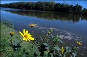 Wildflowers line the banks of the Kansas River on Thursday as some visible scum floats by near Burcham Park.