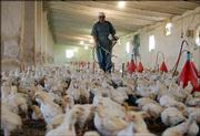 A man sprays disinfectant at a chicken farm Saturday in Kirkuk, Iraq. Americans have become increasingly aware of the avian flu after cases were reported in eastern Europe, prompting many to find out how they should prepare for a possible outbreak.