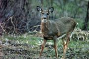 A young female deer grazes in a soybean field east of Lawrence. Accidents involving deer are highest between October and December, and police are warning drivers to be alert.