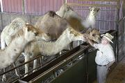 Dave Hale talks to some of the 100 camels he owns on his 120 acres just outside Cape Girardeau, Mo. He raised the camels by bottle feeding them, which helps them to be friendly toward humans.