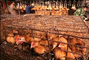Chickens wait in cages before being slaughtered in preparation for sale Thursday at a poultry market in Wuhan, in China's Hubei province. China reported a new outbreak of bird flu in Xiaogan city in Hubei on Thursday.