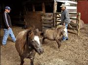 Eric Miller, left, and his father-in-law, Bruno Balderrama, move miniature horses earlier this month at Balderrama's house in Grantville. During a flood in October, the Balderramas had to move their livestock because of broken fences and were hoping to move 15 horses back.
