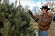 Charlie NovoGradac pulls weeds at his farm at the edge of North Lawrence, where he grows cut-your-own Christmas trees and chestnuts for wholesale and retail sale.