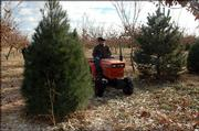 Charlie NovoGradac, who owns Charlie's Chestnuts, an organic farm north of Lawrence, cares for pine trees to be sold as Christmas trees. Customers can cut their own trees at the farm.