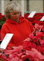 Employee Donna Gardner inspects some of the poinsettias at Sunrise Garden Center. It's difficult, but not impossible, to keep a poinsettia living for another season.