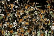 Monarch butterflies gather on a tree branch Wednesday at the Monarch Butterfly Biosphere Reserve in Sierra Chincua, Mexico. Rangers protect the winter nesting grounds of millions of butterflies from armed gangs of illegal loggers.