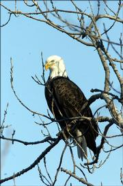 Free Eagle-viewing tours at 10 a.m. and 2 p.m. Sunday at Clinton Lake will be part of the 10th annual Eagles Day celebration. Educational programs will also be offered during the day at the Douglas County 4-H Fairgrounds, Building 21.