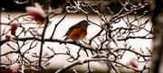 A robin perches on a magnolia tree branch in west Lawrence Tuesday morning  surveying  the scene after Monday night's snowfall.