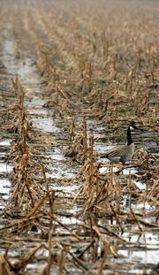 A rain soaked cornfield attracts a goose on a farm field south of Lawrence. The first day of spring Monday bought some needed moisture to the area.