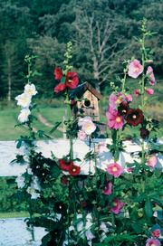 Plants grown from heirloom seeds preserve the history of a purebred flower or vegetable first sown at least 50 years ago. Heirloom varieties that will do well in the Midwest include these outhouse hollyhocks.