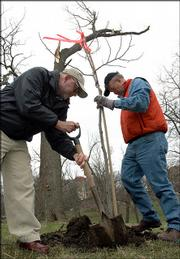 Beneath the broken limbs of a storm-damamged walnut tree, Greg Wade, KU landscape architect, left, and Dennis Farney, right, plant a young tulip poplar tree in Marvin Grove on the KU campus. The tree is one Farney grew and is from a certified seedling of a tree that Thomas Jefferson planted at his Monticello home in 1807. Wade, a 1963 KU graduate provided the tree to KU to help replace trees destroyed in the March 12 storm. The two men planted the tree Monday.